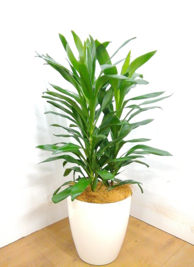 観葉植物 【105cm】 ドラセナ グローカル 8号 #23353