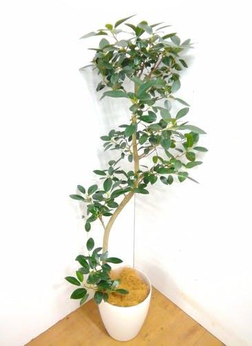観葉植物 【160cm】 フランスゴムの木 8号 #23365
