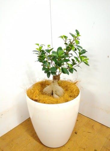 観葉植物 【55cm】 ガジュマル 7号 #23367