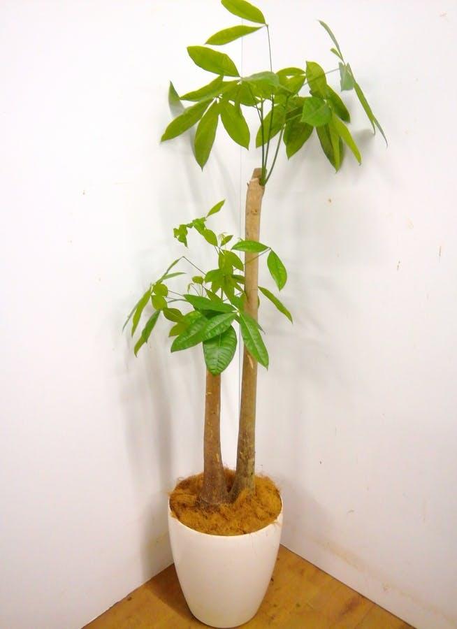 観葉植物 【170cm】 パキラ 10号 #23368 ※1都3県配送限定商品