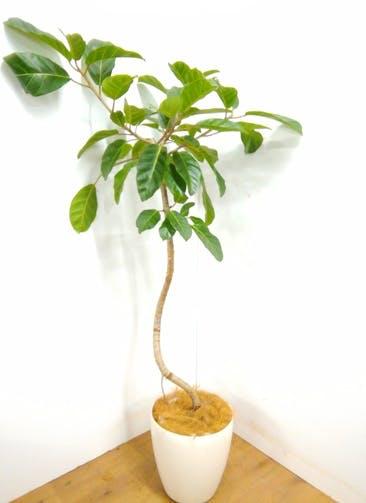 観葉植物 【200cm】アフリカンプリンス 10号 #23372 ※1都3県配送限定商品
