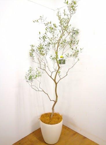 観葉植物 【220cm】 オリーブの木 バロウニ10号 #23374 ※1都3県配送限定商品