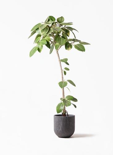 観葉植物 フィカス アルテシーマ 8号 ストレート カルディナダークグレイ 付き