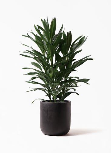 観葉植物 ドラセナ グローカル 8号 エルバ 黒 付き