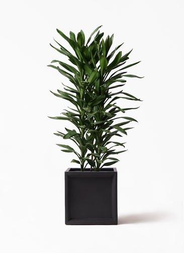 観葉植物 ドラセナ グローカル 10号 ブリティッシュキューブ 付き