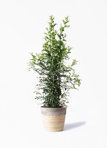 観葉植物 シルクジャスミン(げっきつ) 10号 アルマ コニック 白 付き