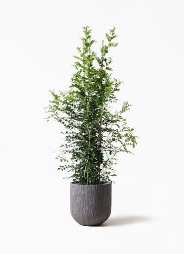 観葉植物 シルクジャスミン(げっきつ) 10号 カルディナダークグレイ 付き
