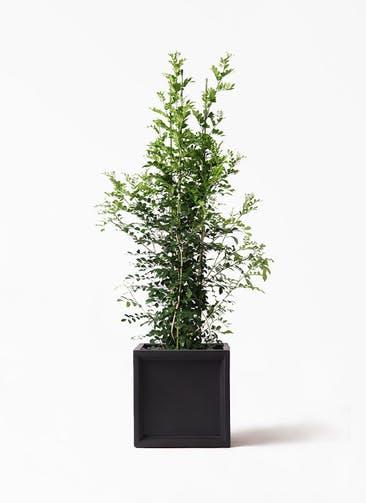 観葉植物 シルクジャスミン(げっきつ) 10号 ブリティッシュキューブ 付き