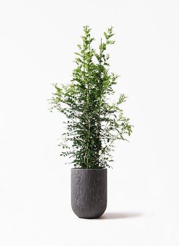観葉植物 シルクジャスミン(げっきつ) 10号 カルディナトールダークグレイ 付き