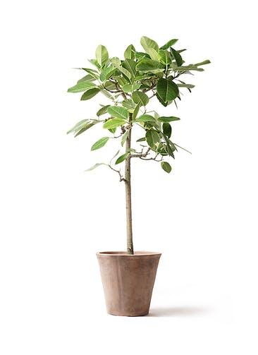 観葉植物 フィカス アルテシーマ 10号 ストレート ルーガ アンティコ ソリッド
