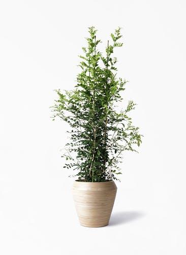 観葉植物 シルクジャスミン(げっきつ) 10号 アルマ ミドル 付き