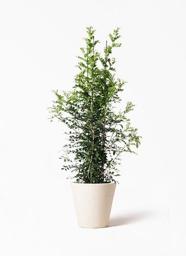 観葉植物 シルクジャスミン(げっきつ) 10号 フォリオソリッド クリーム 付き