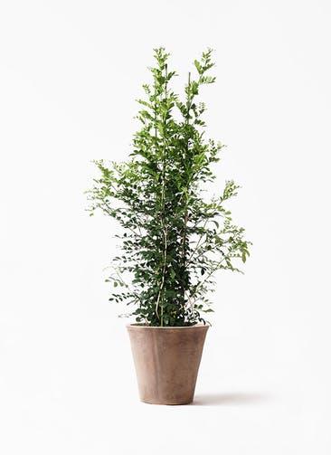 観葉植物 シルクジャスミン(げっきつ) 10号 ルーガ アンティコ ソリッド 付き