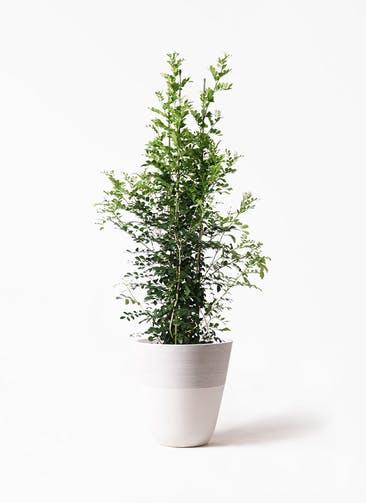 観葉植物 シルクジャスミン(げっきつ) 10号 ジュピター 白 付き
