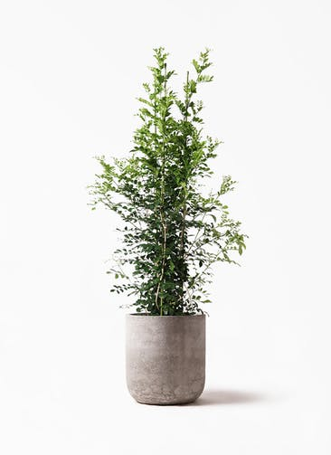 観葉植物 シルクジャスミン(げっきつ) 10号 エルバ 白 付き