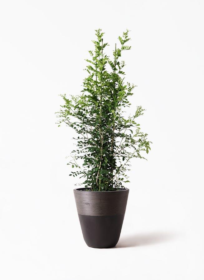 観葉植物 シルクジャスミン(げっきつ) 10号 ジュピター 黒 付き