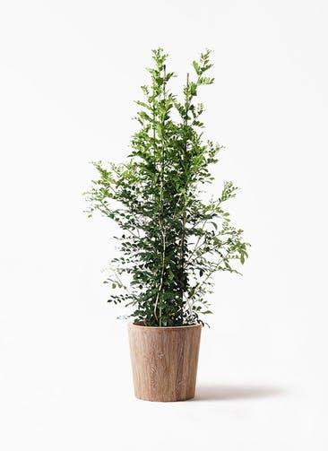 観葉植物 シルクジャスミン(げっきつ) 10号 ウッドプランター 付き