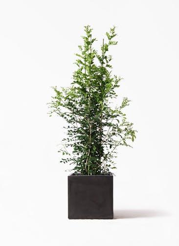観葉植物 シルクジャスミン(げっきつ) 10号 ファイバークレイ キューブ 付き