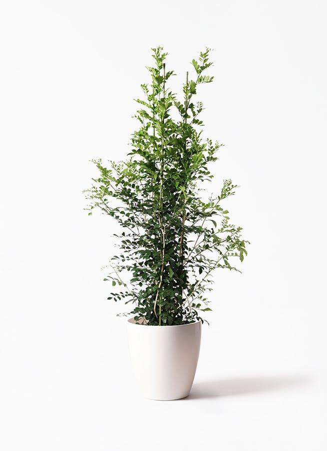 観葉植物 シルクジャスミン(げっきつ) 10号 ラスターポット 付き
