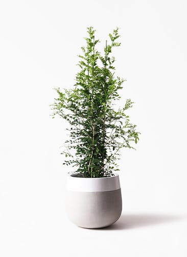 観葉植物 シルクジャスミン(げっきつ) 10号 ファイバーストーンタウルス ミドル 白 付き