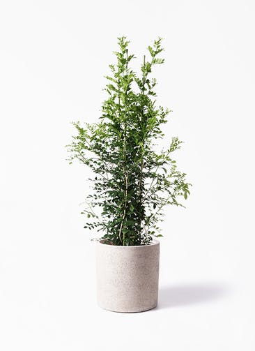 観葉植物 シルクジャスミン(げっきつ) 10号 サンディ シリンダー 白 付き