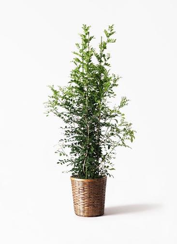 観葉植物 シルクジャスミン(げっきつ) 10号 竹バスケット 付き