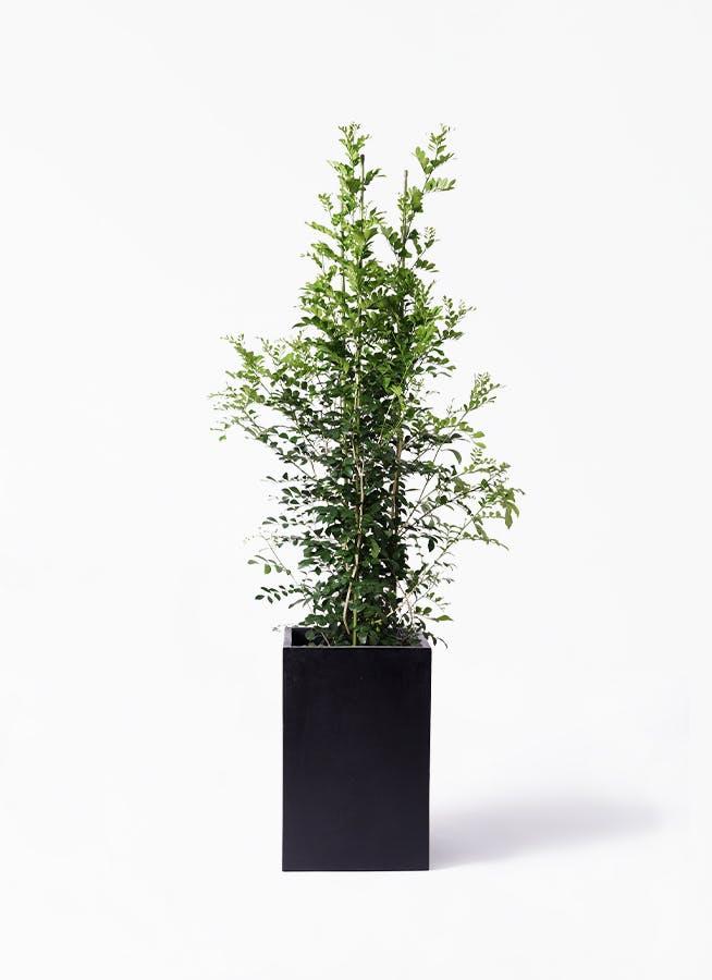 観葉植物 シルクジャスミン(げっきつ) 10号 セドナロング 墨 付き
