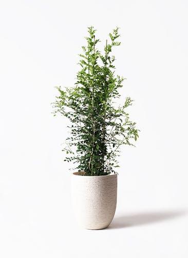観葉植物 シルクジャスミン(げっきつ) 10号 ビアスアルトエッグ 白 付き
