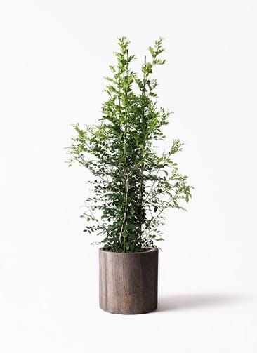 観葉植物 シルクジャスミン(げっきつ) 10号 アルファシリンダープランター 付き