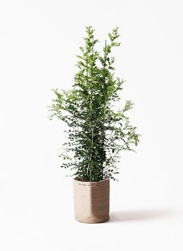 観葉植物 シルクジャスミン(げっきつ) 10号 リブバスケットNatural 付き