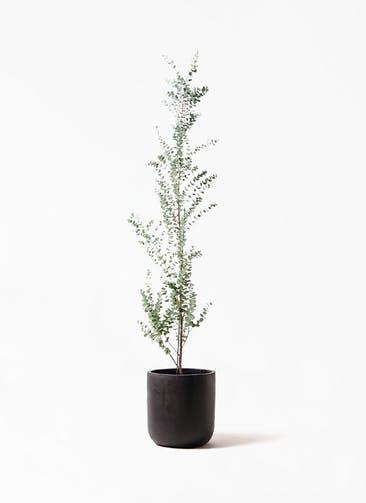 観葉植物 ユーカリ 8号 グニー エルバ 黒 付き