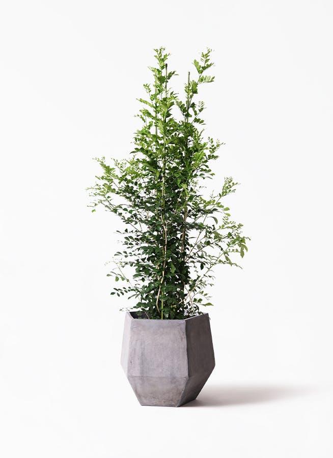 観葉植物 シルクジャスミン(げっきつ) 10号 ファイバークレイGray 付き