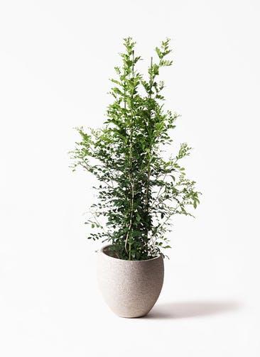 観葉植物 シルクジャスミン(げっきつ) 10号 エコストーンLight Gray 付き