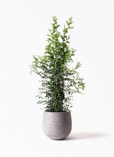 観葉植物 シルクジャスミン(げっきつ) 10号 エコストーンGray 付き