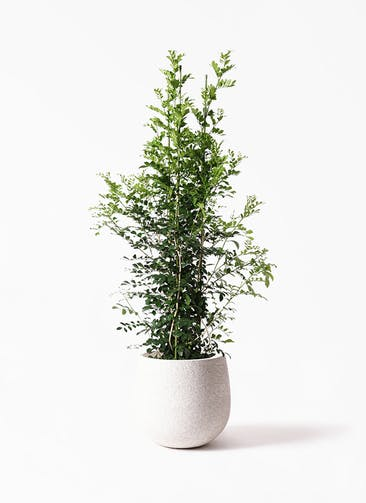 観葉植物 シルクジャスミン(げっきつ) 10号 エコストーンwhite 付き