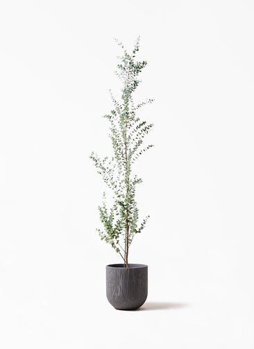 観葉植物 ユーカリ 8号 グニー カルディナダークグレイ 付き