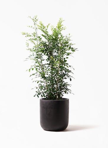 観葉植物 シルクジャスミン(げっきつ) 8号 エルバ 黒 付き