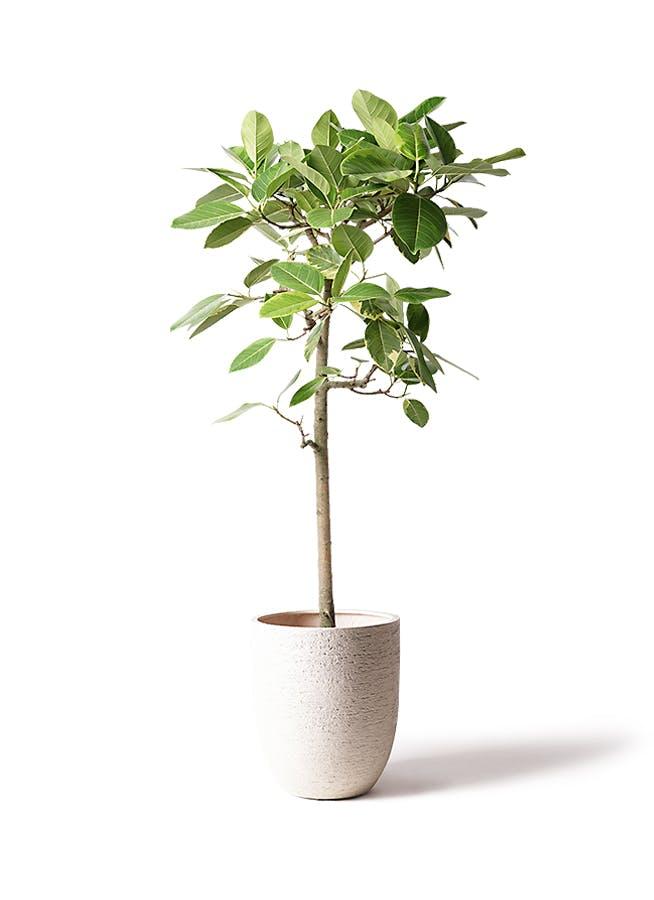 観葉植物 フィカス アルテシーマ 10号 ストレート ビアスアルトエッグ 白 付き