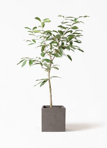 観葉植物 アマゾンオリーブ (ムラサキフトモモ) 8号 コンカー キューブ 灰 付き