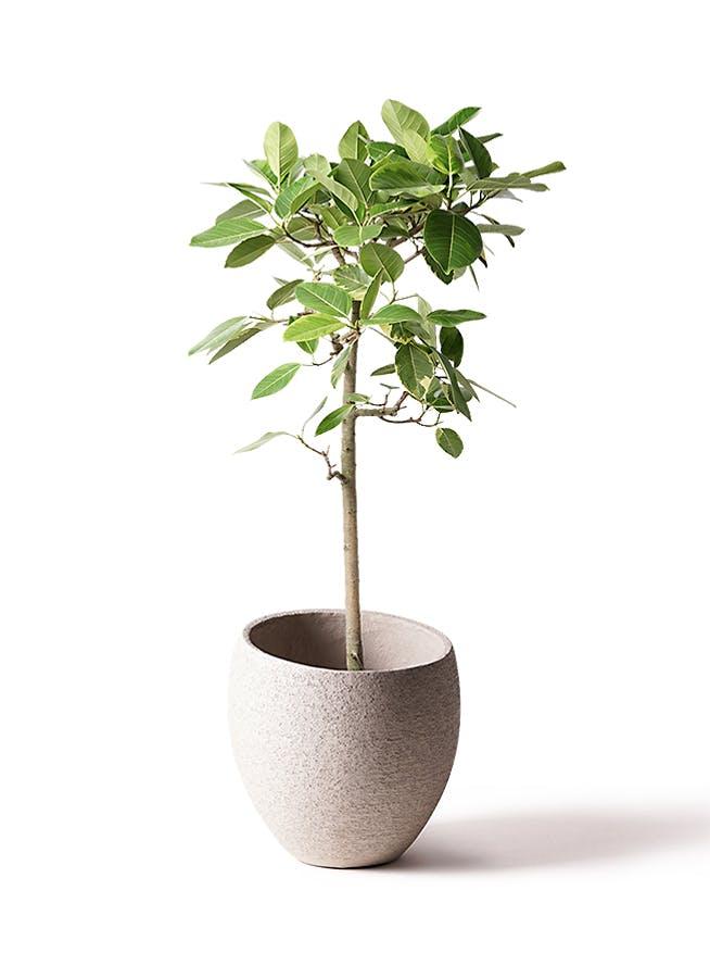 観葉植物 フィカス アルテシーマ 10号 ストレート エコストーンLight Gray 付き