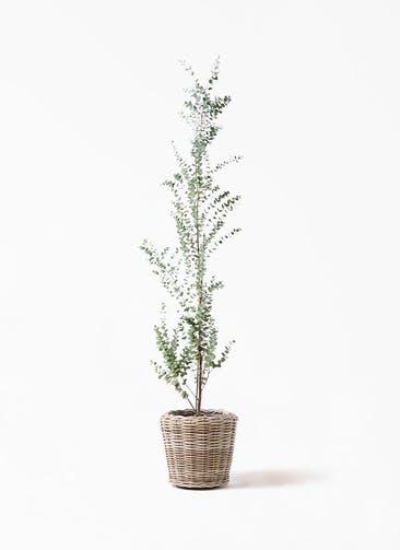 観葉植物 ユーカリ 8号 グニー モンデリック ラタン 付き