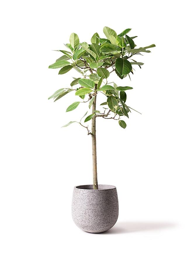 観葉植物 フィカス アルテシーマ 10号 ストレート エコストーンGray 付き
