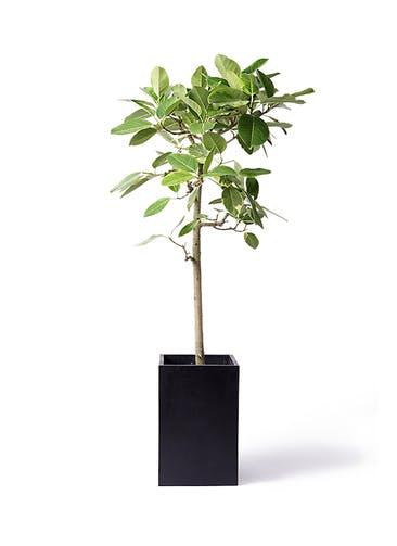 観葉植物 フィカス アルテシーマ 10号 ストレート セドナロング 墨 付き