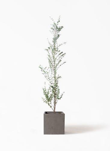 観葉植物 ユーカリ 8号 グニー コンカー キューブ  灰 付き