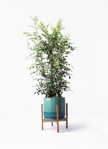 観葉植物 シルクジャスミン(げっきつ) 8号 ビトロ エンデガ ターコイズ ウッドポットスタンド付き
