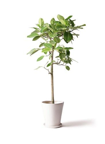 観葉植物 フィカス アルテシーマ 10号 ストレート サブリナ 白 付き