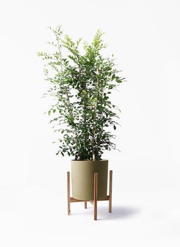 観葉植物 シルクジャスミン(げっきつ) 8号 ホルスト シリンダー オリーブ ウッドポットスタンド付き