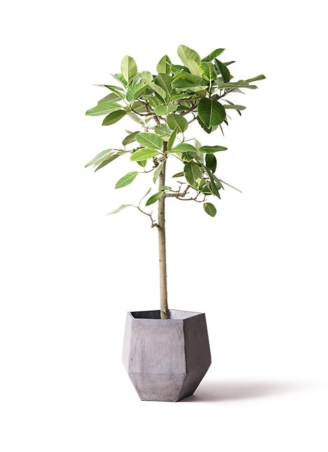 観葉植物 フィカス アルテシーマ 10号 ストレート ファイバークレイGray 付き