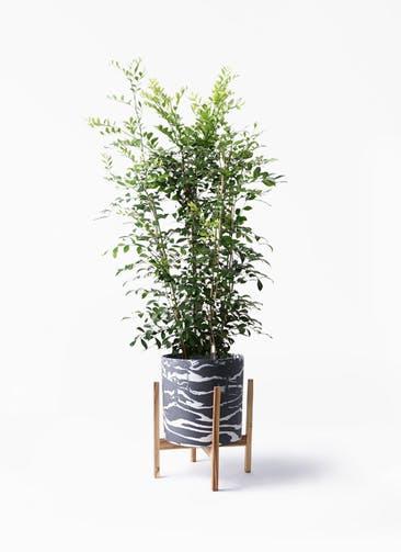 観葉植物 シルクジャスミン(げっきつ) 8号 ホルスト シリンダー マーブル ウッドポットスタンド付き