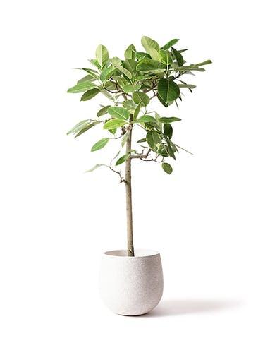 観葉植物 フィカス アルテシーマ 10号 ストレート エコストーンwhite 付き